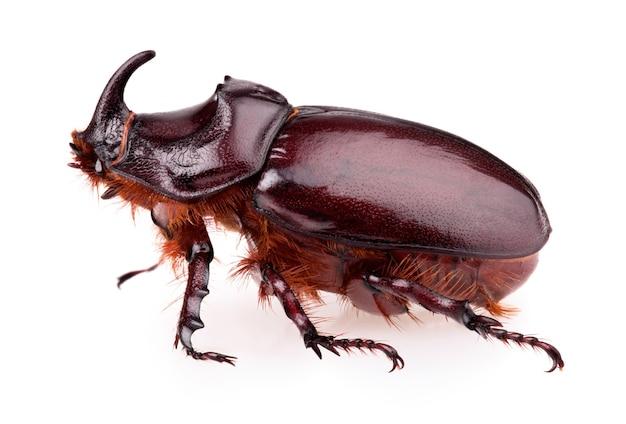 Rhinoceros beetle geïsoleerd op een witte achtergrond