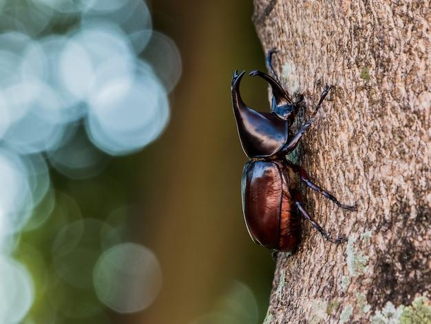 Rhinoceros beetle hercules kever op oude houten textuur met groene natuur achtergrond