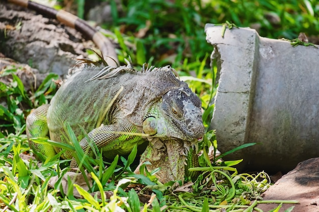 Rhinoceros iguana (cyclura-cornuta) in de aard