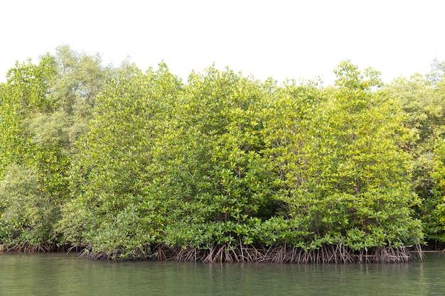 Rhizophora apiculata blume bos in mangrovegebied, speciale boom met steun- of steunwortel en ook voor beluchting