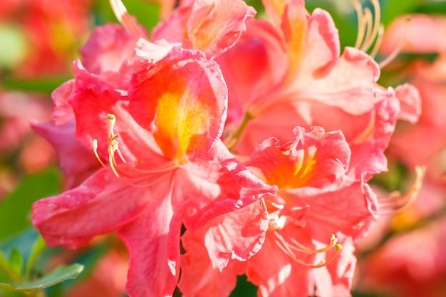 Rhododendron (azalea) bloemen van verschillende kleuren in de lentetuin