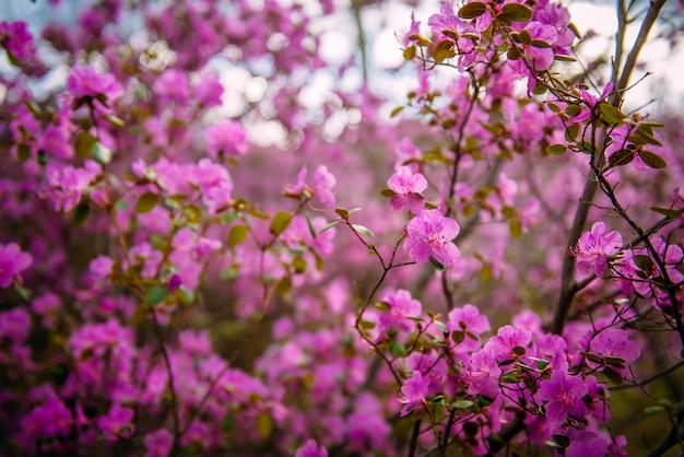 Rhododendron bloei in de altai bergen