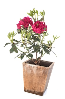 Rhododendron in de studio