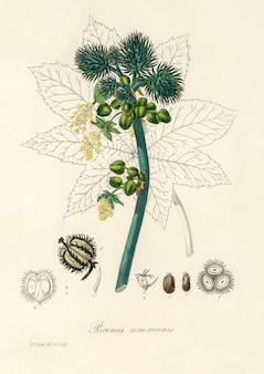 Ricinusplant (ricinus communs) illustratie van medical botany (1836)