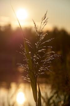 Riet bij zonsondergang. backlit fotografie