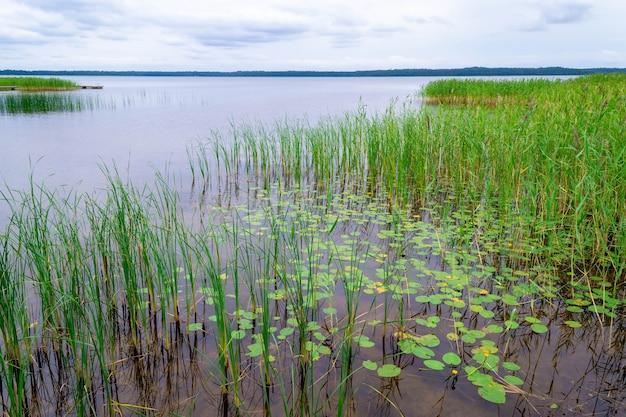 Riet en waterlelie langs de oever van het usmas-meer in letland. prachtig natuurlijk landschap. zomer