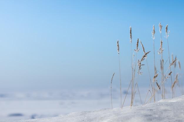 Riet tegen een blauwe hemel op zonnige winterdag. droge rietstengels bedekt met rijm, vrije ruimte.