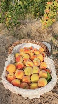 Rieten mand met perzik op de boerderij