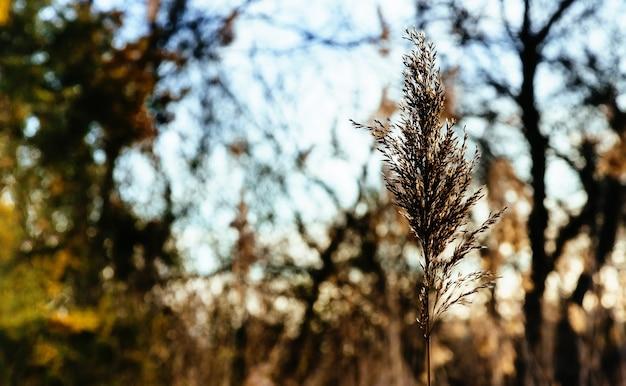 Rietstengels in het moeras tegen zonlicht.