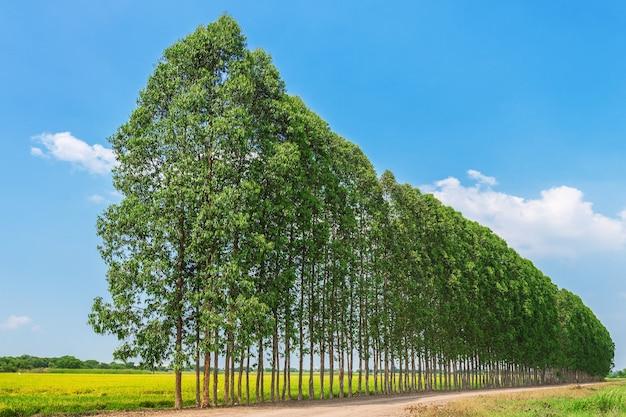 Rij van eucalyptus voor papierindustrie.