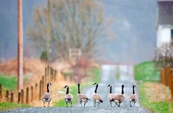 Rij van ganzen lopen door afgelegen landelijke landweg