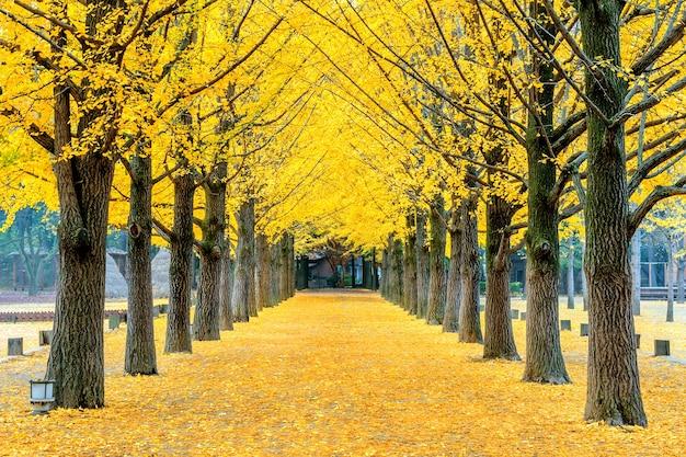 Rij van gele ginkgoboom in nami island, korea