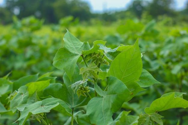 Rij van groeiend katoen veld in india.