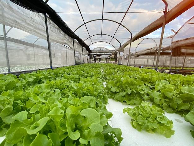 Rij van groene plant, groene eik en rode eik, in hydrocultuur groenten boerderij