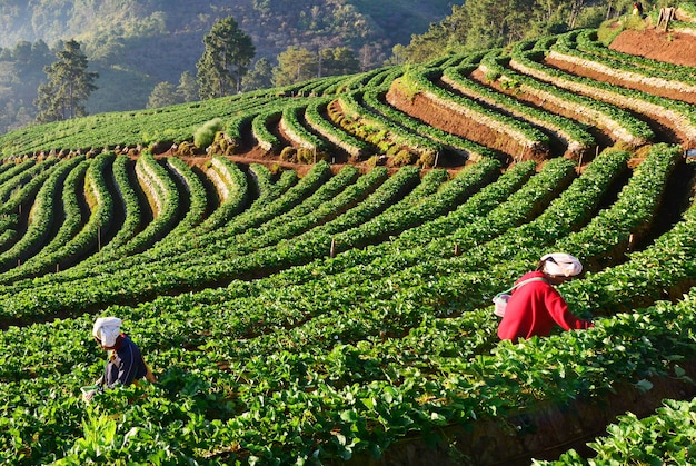 Rij van groene theeaanplanting in boerderij