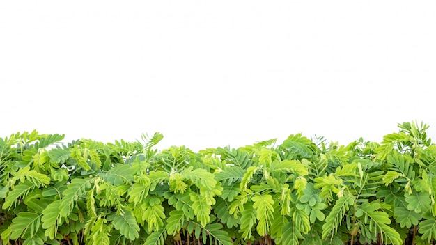 Rij van jonge groene die tamarindeboom op wit wordt geïsoleerd
