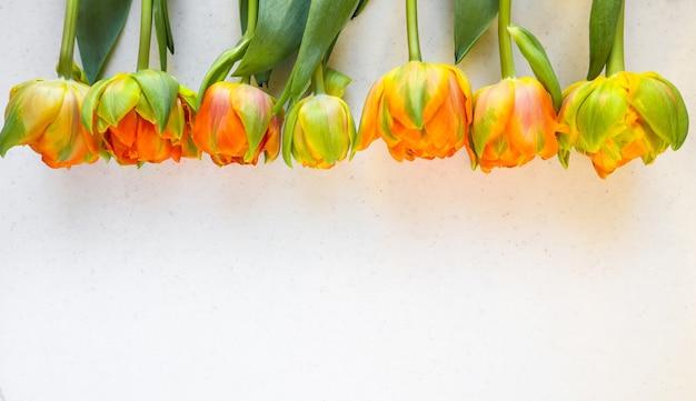 Rij van mooie oranje tulpen op een witte achtergrond perfect voor achtergrond wenskaarten