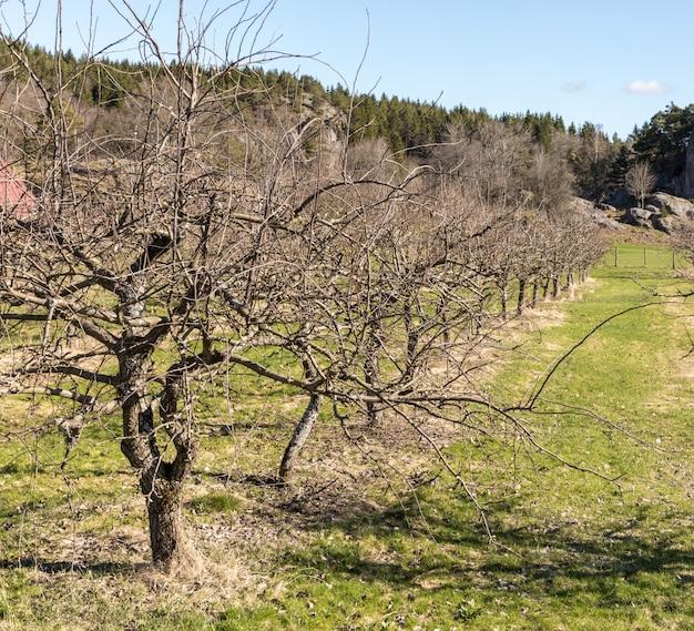 Rij van oude, naakte appelbomen in het voorjaar, groeiend op grasland