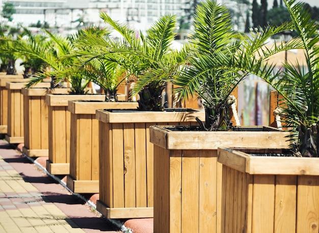 Rij van palmbomen in houten stands. stedelijke buitendecoratie