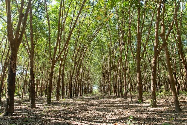 Rij van para rubberboom. rubber plantage achtergrond