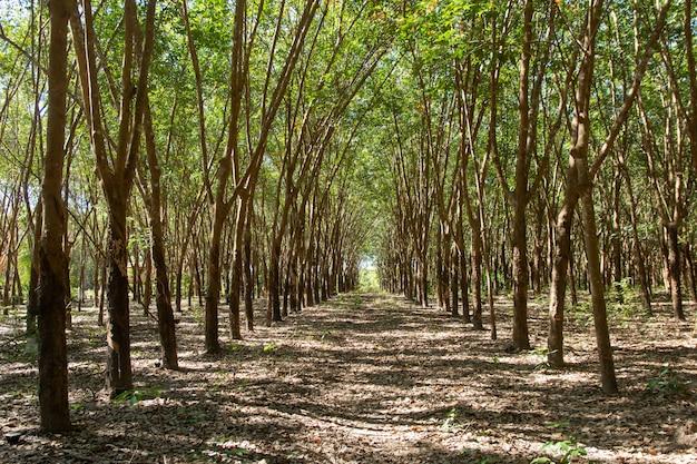 Rij van para-rubberboom. rubberplantage