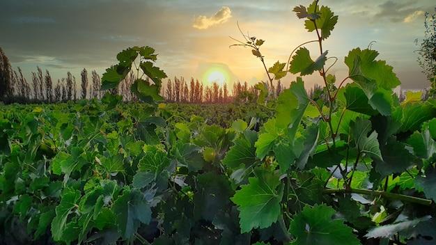 Rij wijnstok groene druif in champagne wijngaarden bij montagne de reims