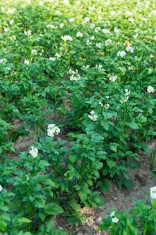 Rijen bloeiende aardappelstruiken in de tuin. nieuwe oogst. verticaal.