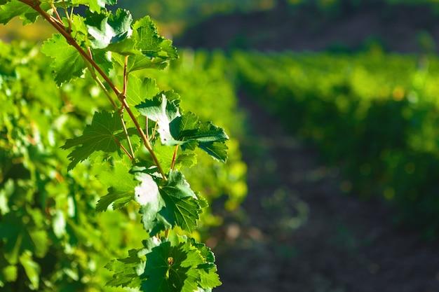 Rijen druiven groeien in een wijngaard