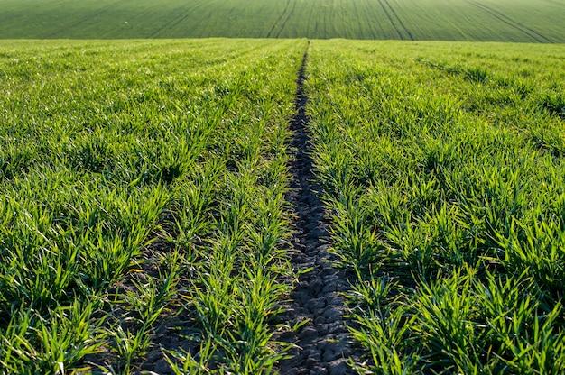 Rijen heuvelsplantages van graanspruiten op het gebied van landbouw. landbouw