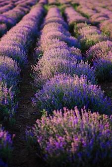 Rijen struiken van bloeiende lavendel