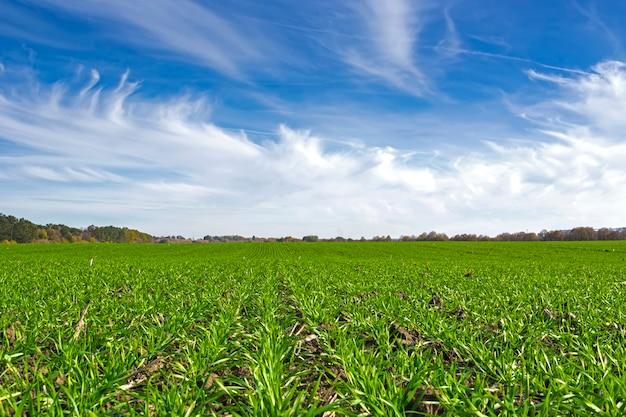 Rijen van de lente wintertarwe op een veld onder een blauwe lucht met wolken