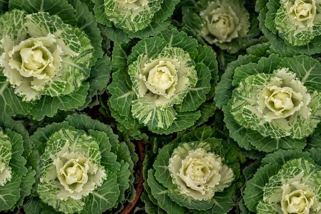 Rijen van decoratieve sier kool groene bloemen achtergrond