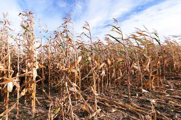 Rijen van gedroogde gele rijpe maïs in het herfstseizoen op het landbouwgebied. een paar stengels zijn gebroken en liggen op de grond. bewolkte hemel hierboven. maïs klaar om fruit te oogsten
