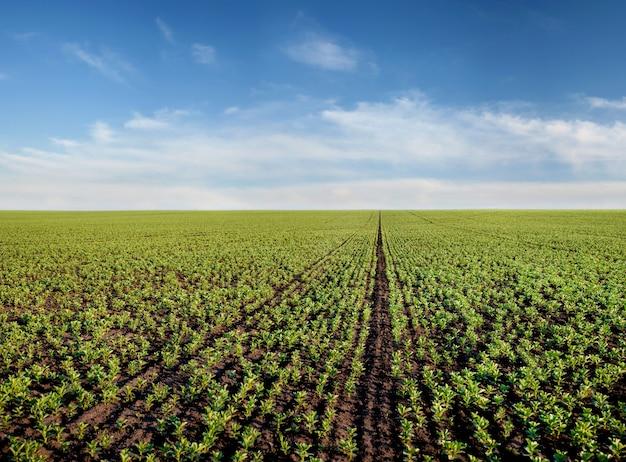 Rijen van groene bonen, fava, flora, veldbonen veld in het voorjaar. landbouw uitzicht