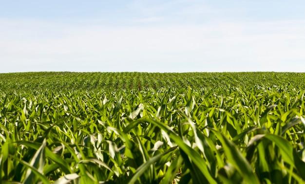 Rijen van groene maïs bij zonnig weer, jonge maïsveld, groene planten verlicht door zonlicht, zoet voedsel maïs op een blauwe hemelachtergrond