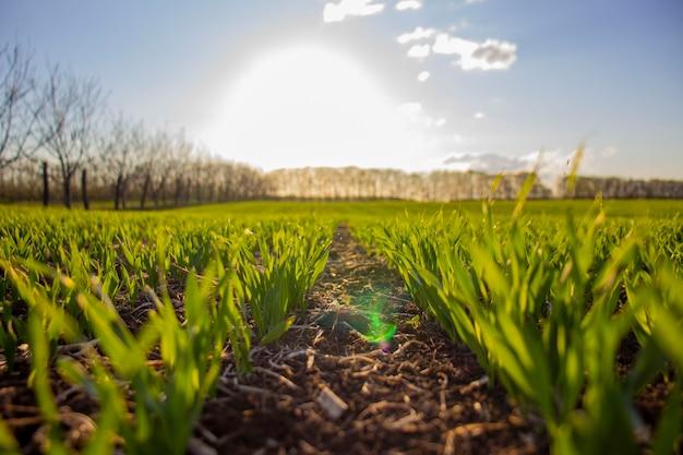 Rijen van groene zomergerst. selectieve focus