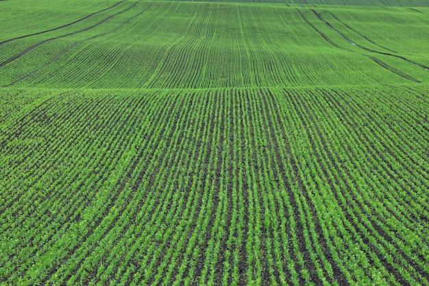 Rijen van jonge groene erwtenzaailingen op het gebied dichtbij de boerderij.