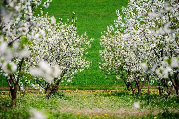 Rijen van prachtig bloeiende kersenbomen op een groen gazon