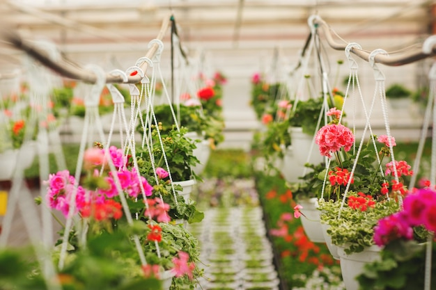 Rijen van verschillende bloemen in potten, geteeld in een kas. planten zijn klaar voor export