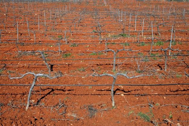 Rijen van wijnstokken in wijngaard