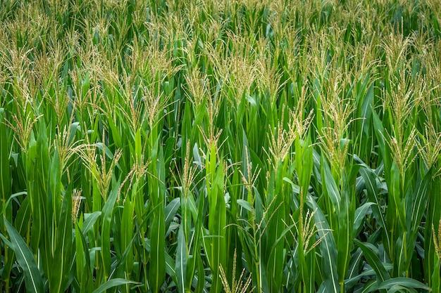 Rijen verse ongeplukte groene bladeren van maïs