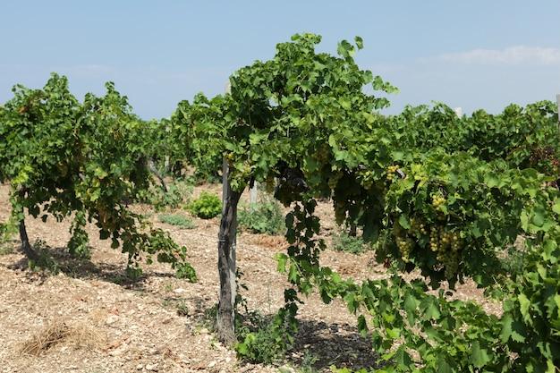 Rijen wijngaarden in de zomer.