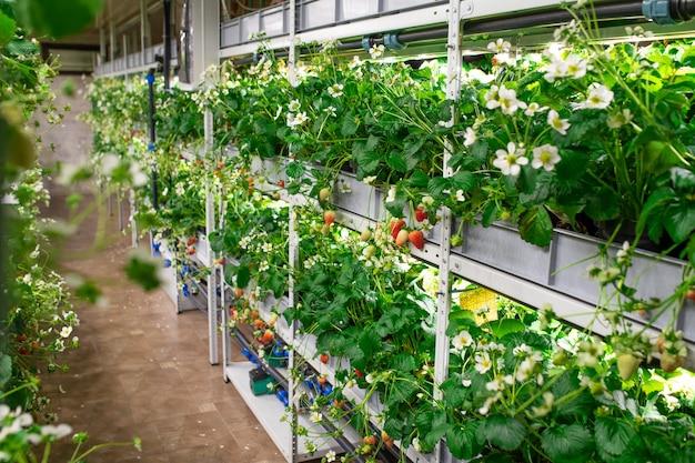 Rijen zaailingen van verschillende soorten tuinaardbeien die op planken groeien in een grote moderne verticale boerderij of kas