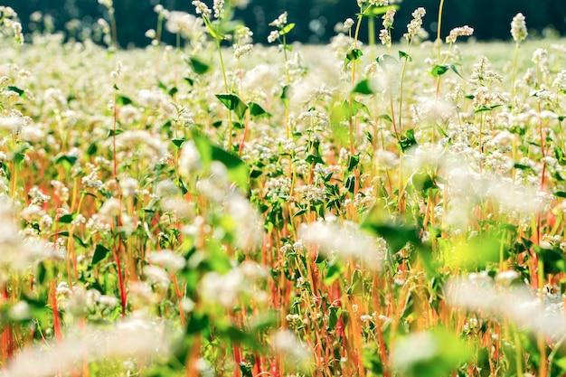 Rijp bloeiend boekweitgebied