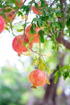 Rijp granaatappelfruit op boomtak