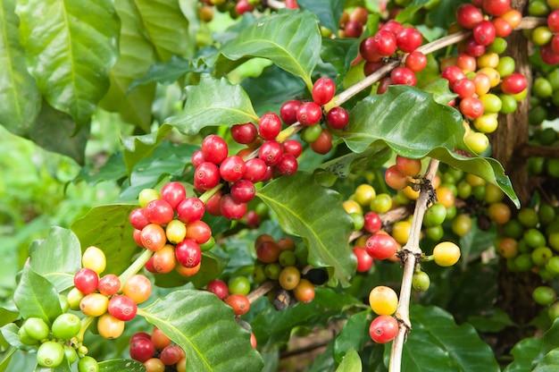 Rijp koffieteel op boom, koffieaanplanting in landbouwbedrijf