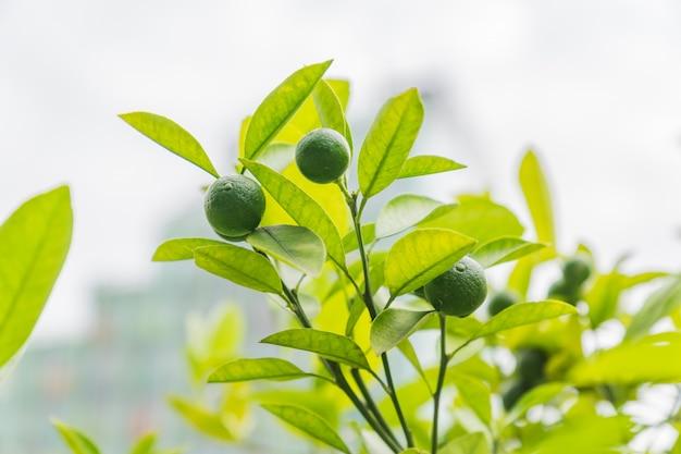Rijp lumes ion een brunchboom. verse oogst van eco fruit.
