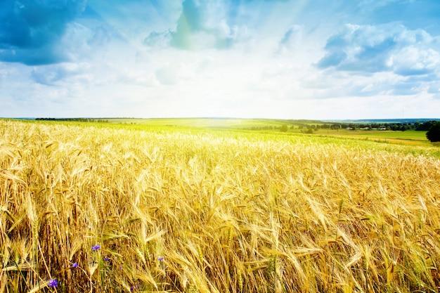 Rijp tarwelandschap tegen blauwe hemel