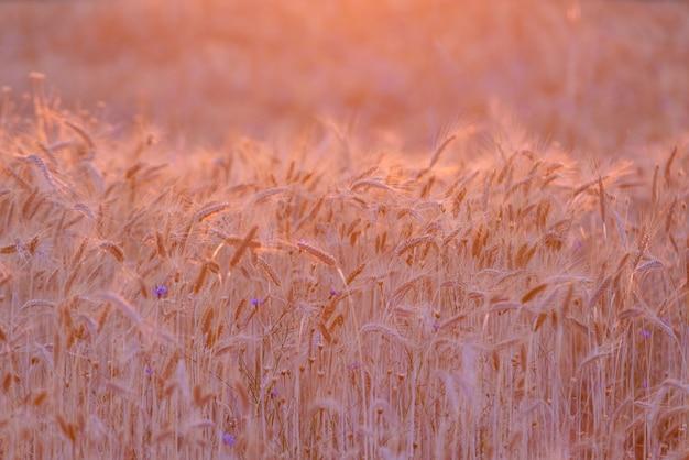 Rijp tarweveld bij zonsondergang verlicht door gouden zonnestralen. tarwe boerderij klaar om te worden geoogst. agrarische achtergrond, kopieer ruimte voor tekst