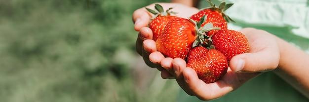 Rijpe aardbeien in de handen van een kind op biologische aardbeienboerderij, mensen die aardbeien plukken in het zomerseizoen, bessen oogsten.